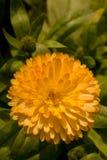 Fleur jaune de chrysanthème Image libre de droits