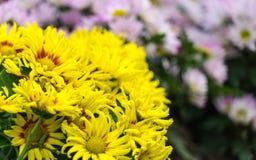 Fleur jaune de chrysanthème Photographie stock
