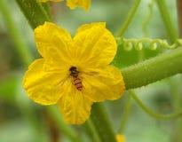 Fleur jaune de concombre Images libres de droits