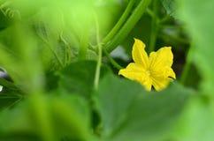 Fleur jaune de concombre en serre chaude Images libres de droits