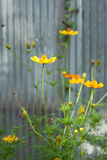 Fleur jaune de cosmea Image stock