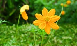 Fleur jaune de cosmos Photo stock