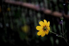 fleur jaune de cosmos au jardin et à l'arrière-plan noir Images libres de droits