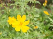Fleur jaune de cosmos avec la feuille Photo libre de droits