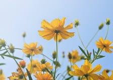 Fleur jaune de cosmos avec le ciel bleu Photographie stock