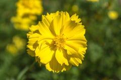 Fleur jaune de cosmos belle Photographie stock libre de droits