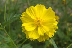 Fleur jaune de cosmos belle Photos libres de droits