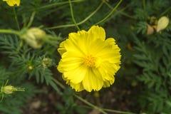 Fleur jaune de cosmos belle Image libre de droits