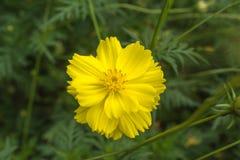Fleur jaune de cosmos belle Photos stock