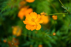Fleur jaune de cosmos, espèces de Comos, Compositae Photos stock