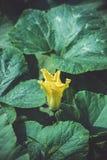 Fleur jaune de courge dans le jardin photos stock