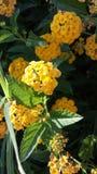 Fleur jaune de désert Photographie stock libre de droits
