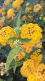 Fleur jaune de désert Image stock