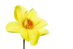 Fleur jaune de dahlia Photo libre de droits