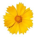 Fleur jaune de dahlia photos stock