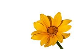 Fleur jaune de dahlia image libre de droits