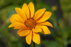 Fleur jaune de dahlia images stock