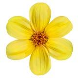 Fleur jaune de dahlia d'isolement sur le fond blanc Images libres de droits