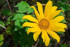 Fleur jaune de diversifolia de Tithonia dans le jardin Photo stock