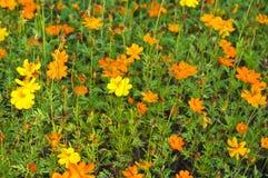 Fleur jaune de fleur dans le jardin Photo libre de droits