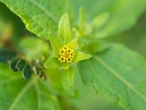 Fleur jaune de Flora non désirée Images stock