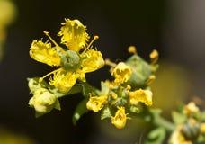 Fleur jaune de floraison Photo libre de droits