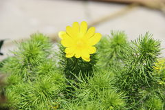 Fleur jaune de floraison Photographie stock