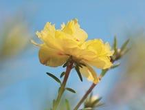 Fleur jaune de floraison Photographie stock libre de droits