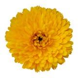 Fleur jaune de floraison de Gerbera Images libres de droits