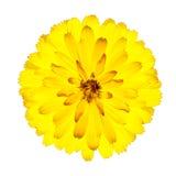 Fleur jaune de floraison de Gerbera d'isolement sur le blanc Photographie stock