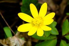 Fleur jaune de forêt Image stock