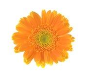 Fleur jaune de gerber d'isolement sur le fond blanc Photo libre de droits
