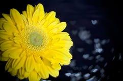 Fleur jaune de Gerbera Photos stock