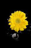 Fleur jaune de Gerbera Photographie stock