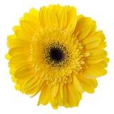 Fleur jaune de gerbera Image libre de droits
