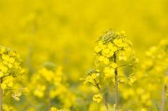 Fleur jaune de graine de colza Photo libre de droits