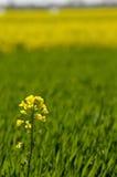Fleur jaune de graine de colza sur le fond vert de blé photo libre de droits