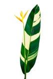 Fleur jaune de heliconia d'isolement sur le fond blanc Images libres de droits