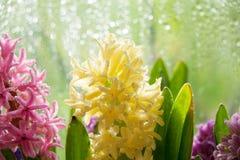 Fleur jaune de jacinthe Photographie stock