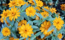 Fleur jaune de jardin colorée photos stock
