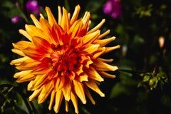 Fleur jaune de jardin de dahlia Photographie stock