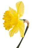 Fleur jaune de jonquille Photographie stock