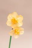 Fleur jaune de jonquille Photo libre de droits