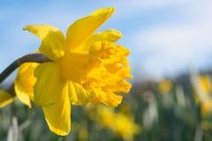 Fleur jaune de jonquille de jonquille sur le pré ensoleillé avec la rosée de matin Photos libres de droits