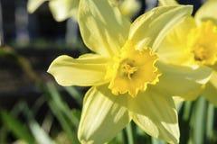 Fleur jaune de jonquille une journée de printemps ensoleillée Photo stock