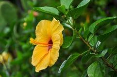 Fleur jaune de ketmie Images stock