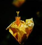Fleur jaune de ketmie Image libre de droits