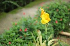 Fleur jaune de ketmie Photos libres de droits