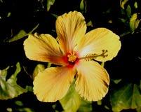 Fleur jaune de ketmie Images libres de droits