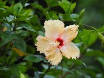 Fleur jaune de ketmie Image stock